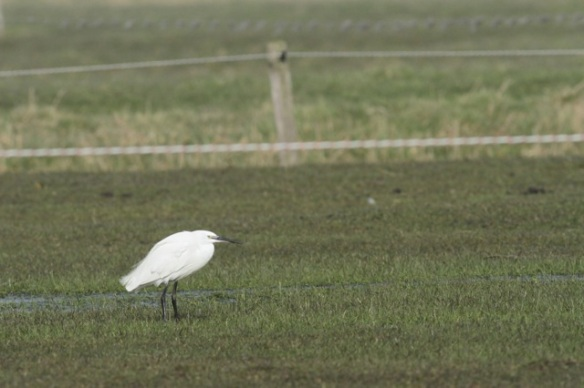 Little egret, 10 March 2016