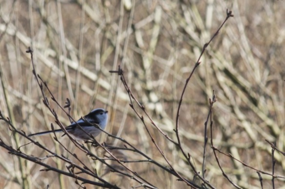 Long-tailed tit, Texel, 5 March 2016