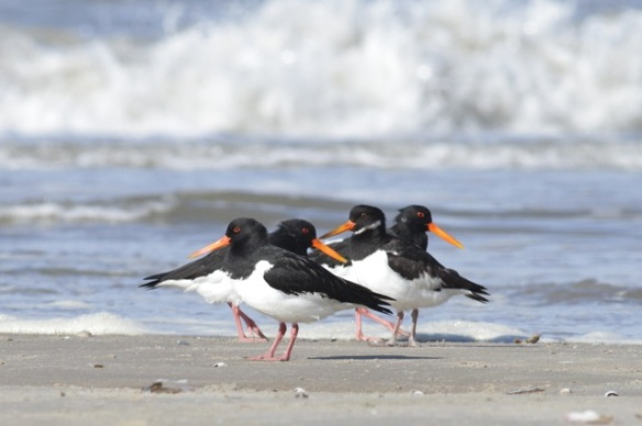 Oystercatchers, 7 March 2016