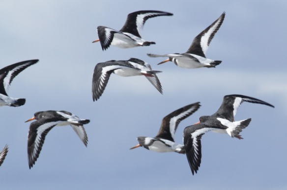 Oystercatchers flying, 7 March 2016