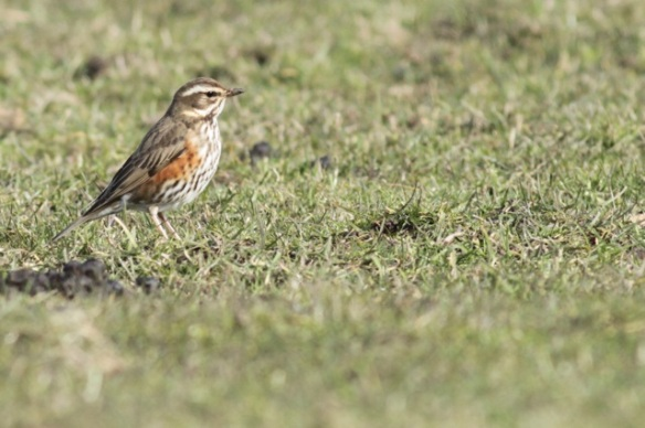 Redwing, 10 March 2016
