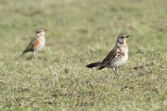 Redwing and mistle thrush, on Texel, 10 March 2016