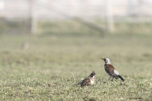 Redwing and fieldfare, Texel, 10 March 2016