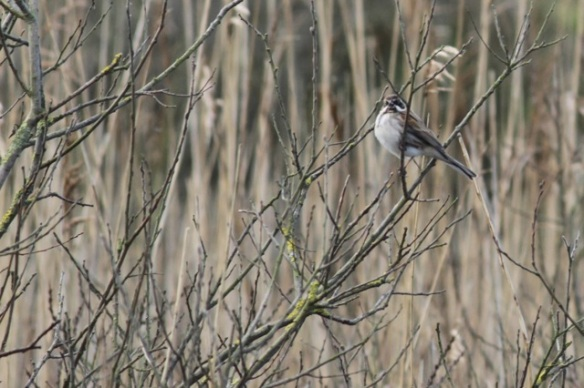 Reed bunting, 5 March 2016