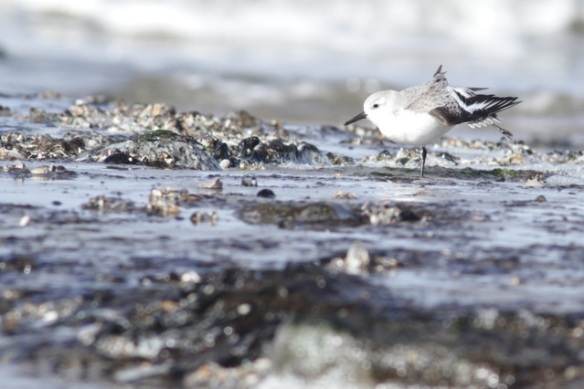 Sanderling on Texel, 7 March 2016