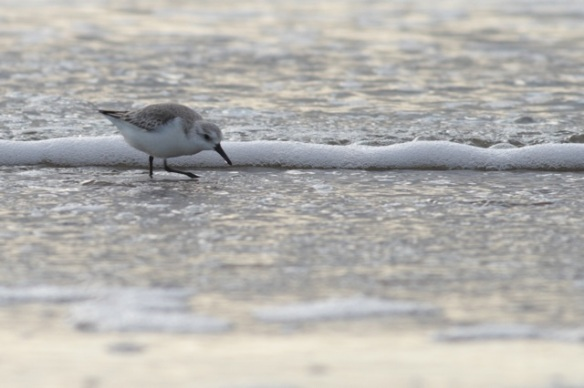 Sanderling on Texel beach, on 5 March 2016