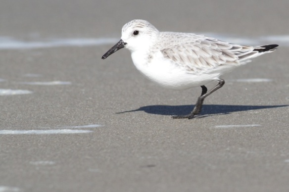 Sanderling on Texel island, 7 March 2016