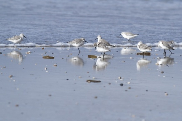 Sanderlings on Texel beach, 7 March 2016