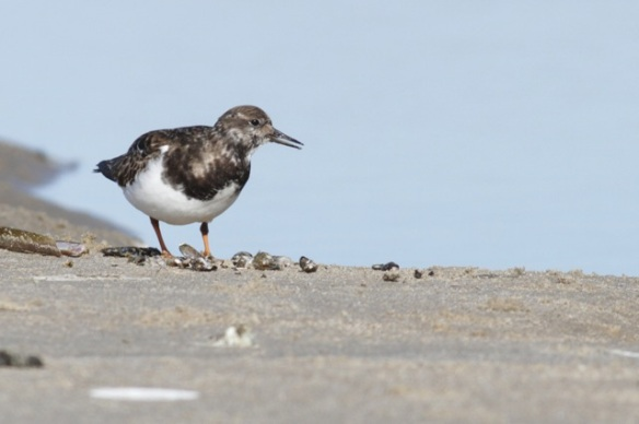 Turnstone, 7 March 2016