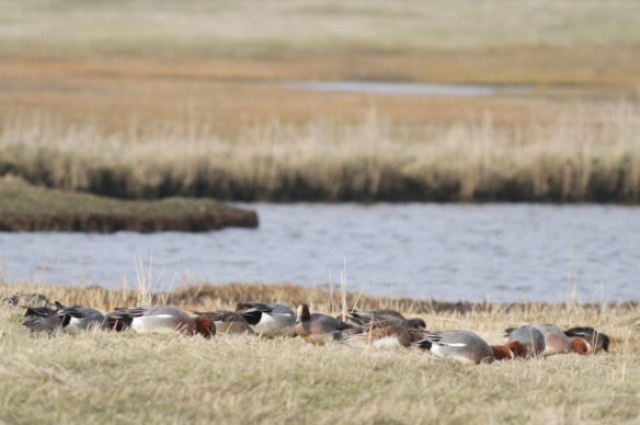 Wigeons grazing, Texel, Zandkes, 10 March 2016