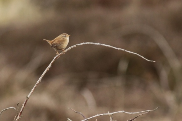 Wren on branch, 6 March 2016