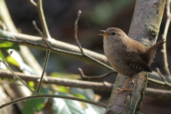 Wren on tree, 8 March 2016