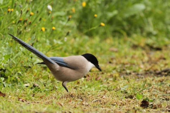 Azure-winged magpie, 10 April 2016