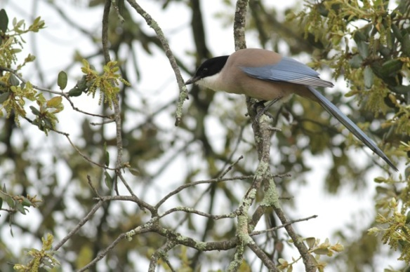 Azure-winged magpie, 12 April 2016