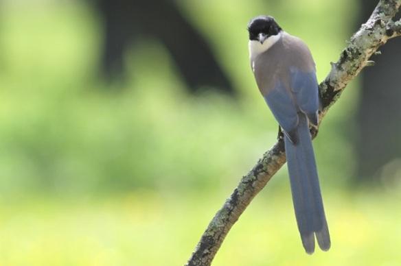 Azure-winged magpie, Jaraicejo, 12 April 2016