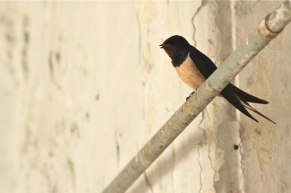 Barn swallow, 11 April 2016