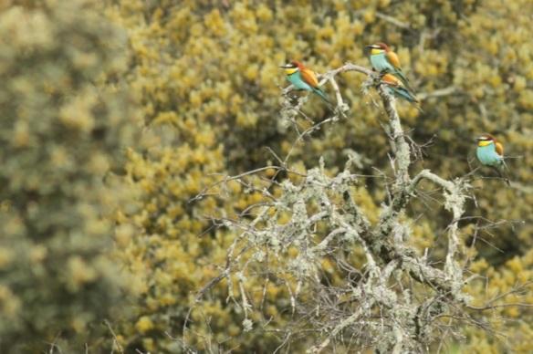 Bee-eaters, Jaraicejo, 10 April 2016