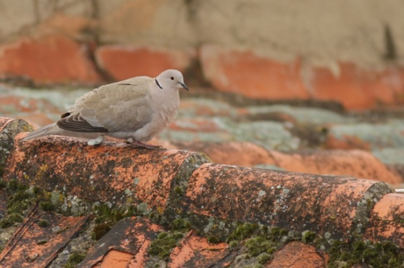 Collared dove, Trujillo, 11 April 2016