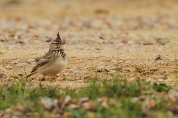Crested lark, 10 April 2016