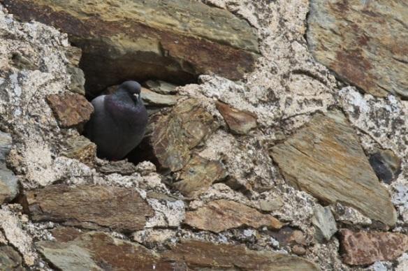 Domestic pigeon, 16 April 2016