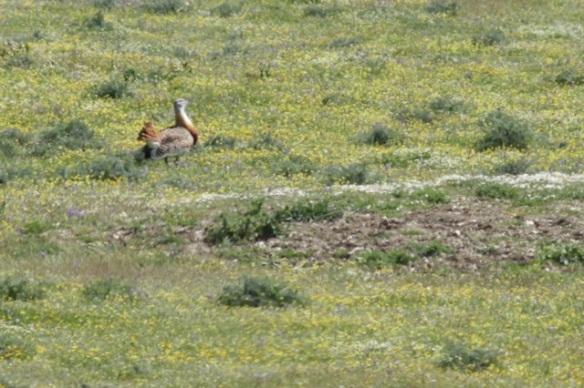 Great bustard, Extremadura, 17 April 2016