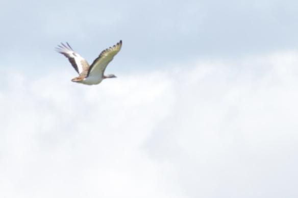 Great bustard flies, Extremadura, 17 April 2016