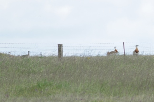 Great bustards, 17 April 2016