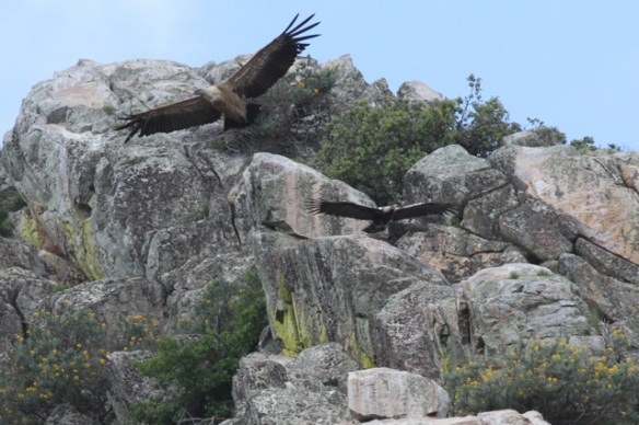 Griffon vulture and Spanish imperial eagle, 13 April 2016