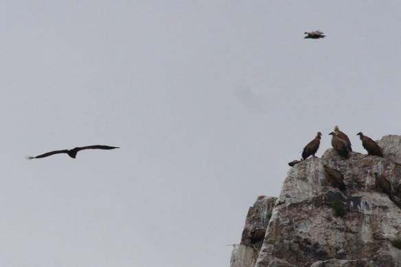 Griffon vultures, 13 April 2016