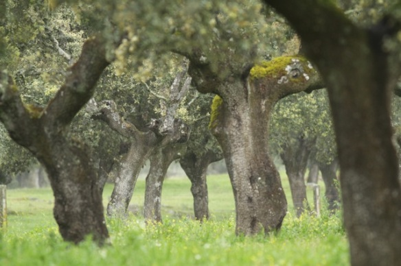 Holly oaks, 10 April 2016