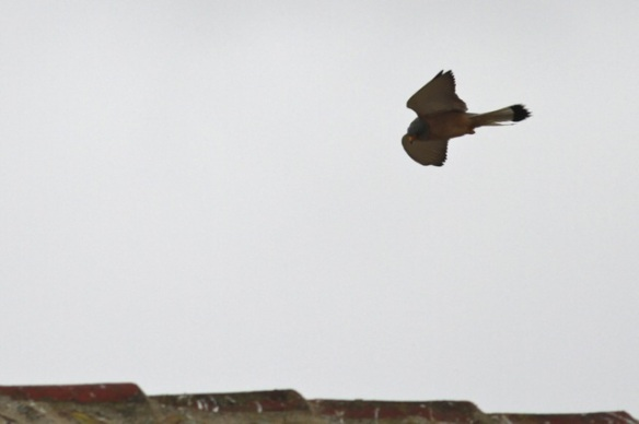 Lesser kestrel, 11 April 2016