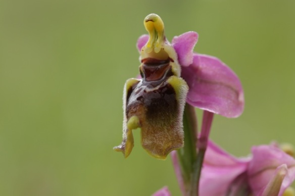 Sawfly orchid, 13 April 2016