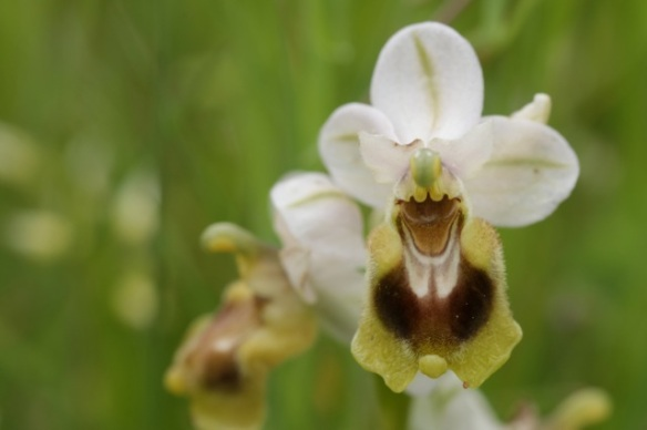 Sawfly orchid, white, 10 April 2016