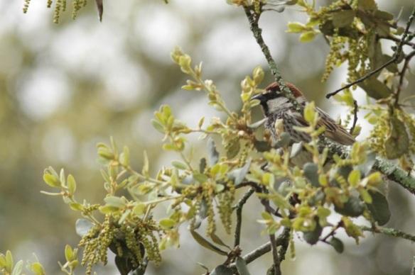 Spanish sparrow, 12 April 2016