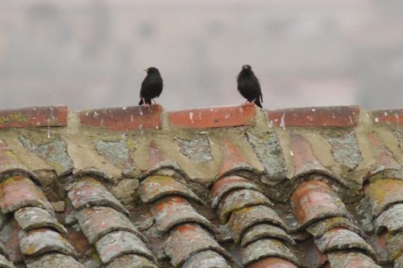 Spotless starlings, Trujillo, 11 April 2016