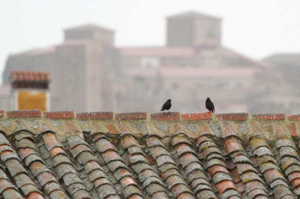 Spotless starlings, 11 April 2016