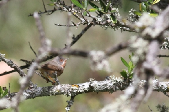 Subalpine warbler, 13 April 2016