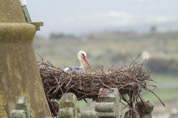 White stork, 11 April 2016