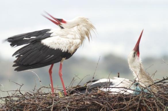 White storks, 11 April 2016