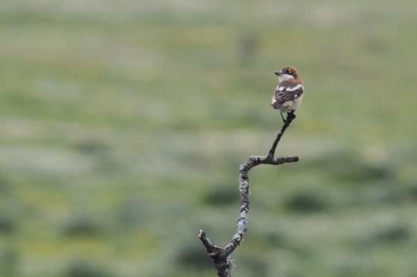 Woodchat shrike, Extremadura, 14 April 2016