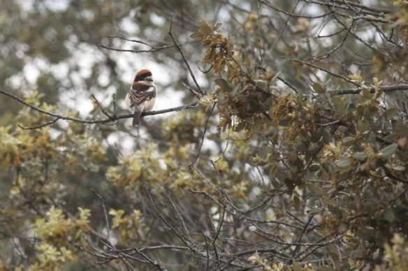 Woodchat shrike, in Extremadura, 14 April 2016