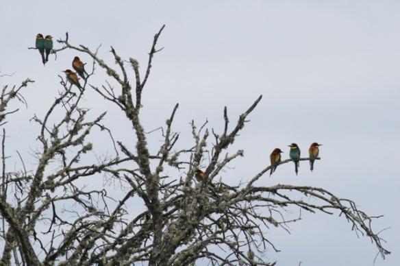 Bee-eaters, near Jaraicejo, 23 April 2016