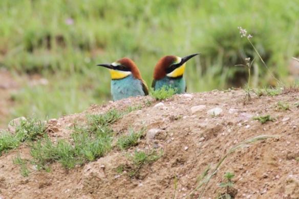 Bee-eaters, near Jaraicejo, Extremadura, on 23 April 2016