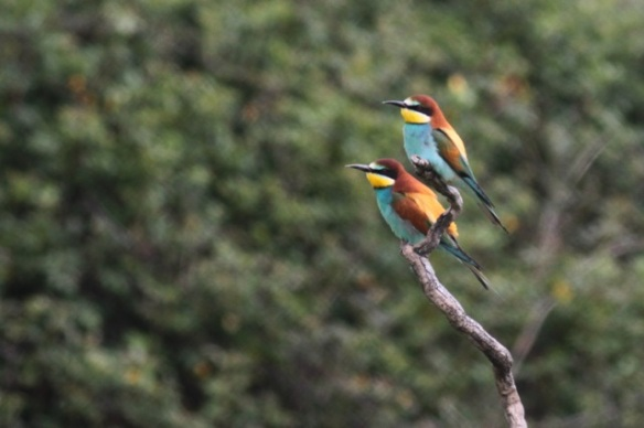 Bee-eaters, near Jaraicejo, Extremadura, Spain, on 23 April 2016