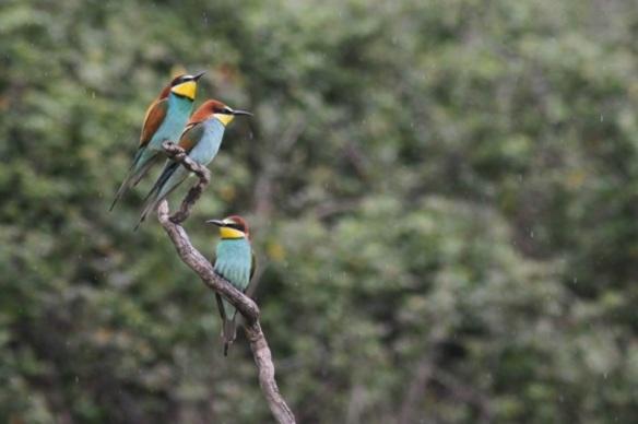 Bee-eaters, near Jaraicejo, on 23 April 2016