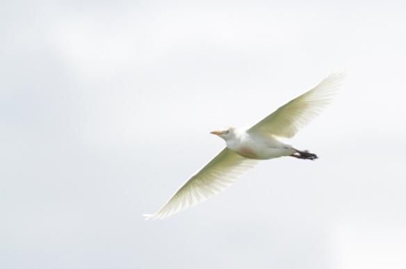 Cattle egret, 21 April 2016