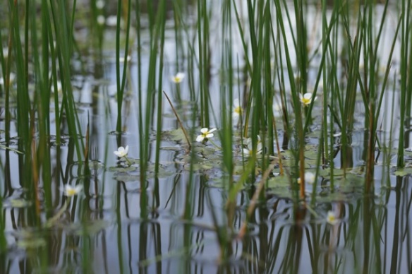Common water-crowfoot, 18 April 2016
