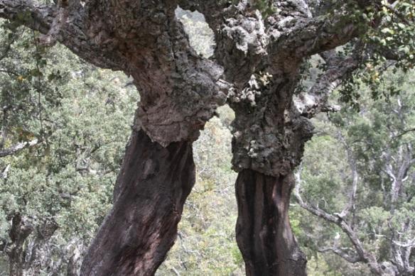 Cork oaks, 23 April 2016