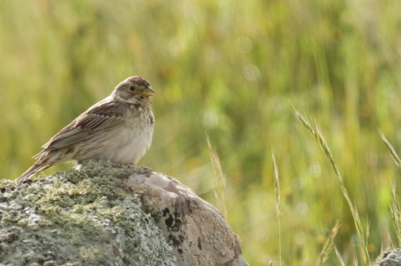 Corn bunting on rock, 21 April 2016