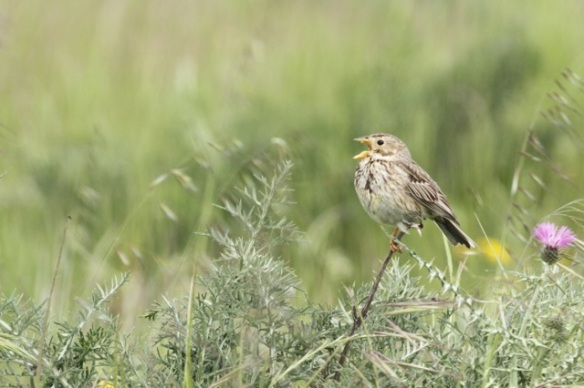 Corn bunting sings, 21 April 2016